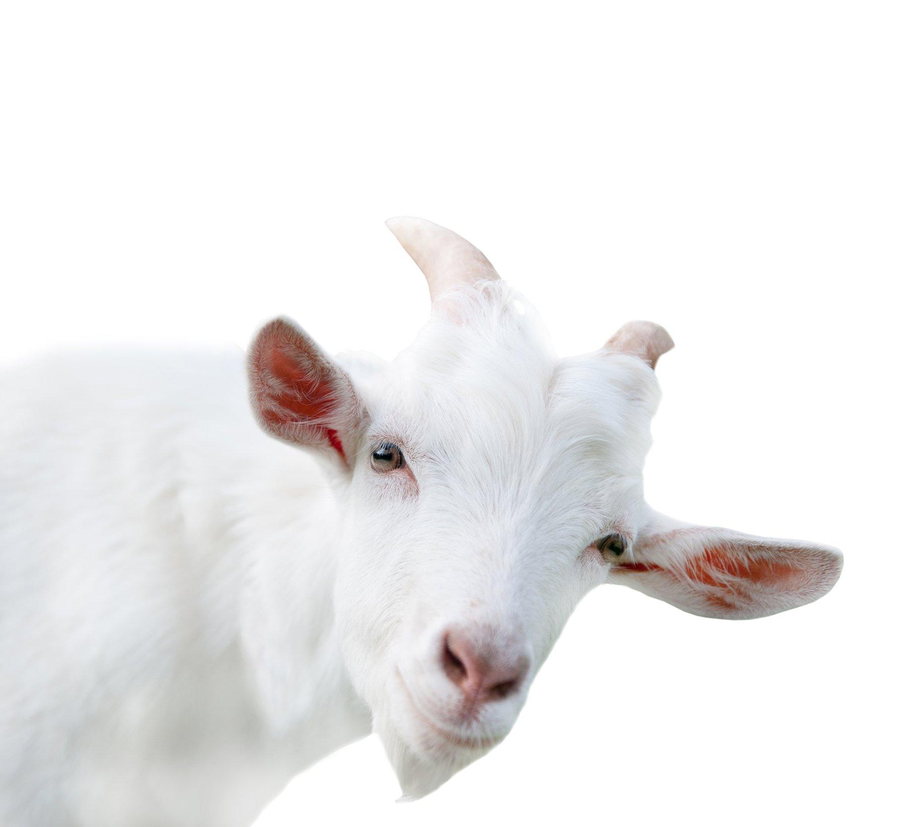 Apa itu susu kambing dan mitos susu kambing?